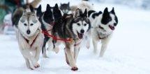seminaire-quebec-chiens-traineaux